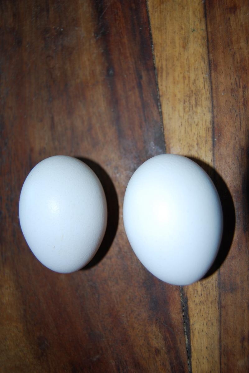 Des œufs normaux ! 00410