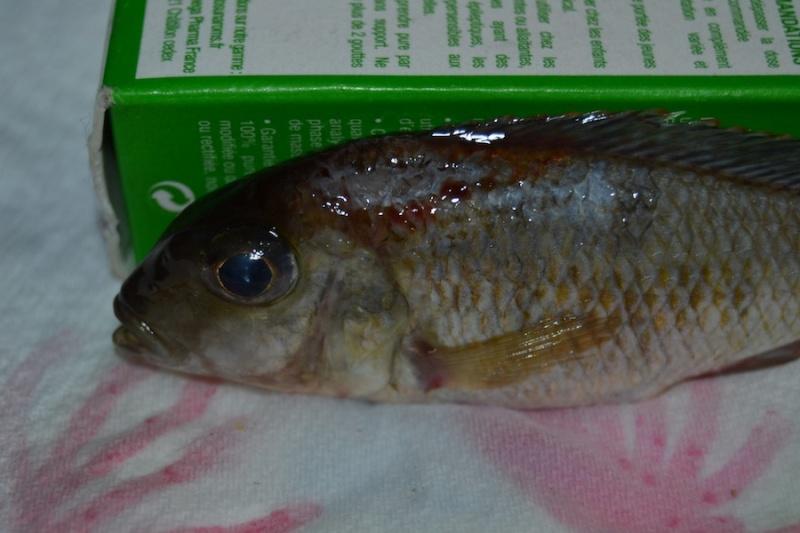 mort femelle lethrinosp red cap itungi F2 Dsc_0821