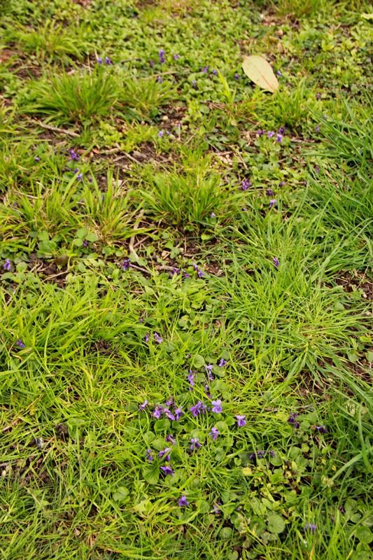Petite violette du début avril Fleur-10