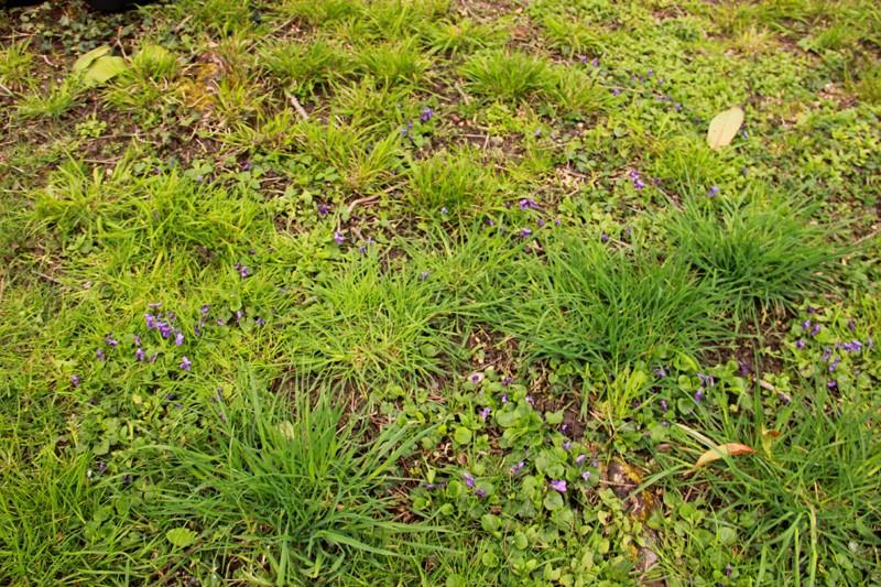 Petite violette du début avril Fleur-11