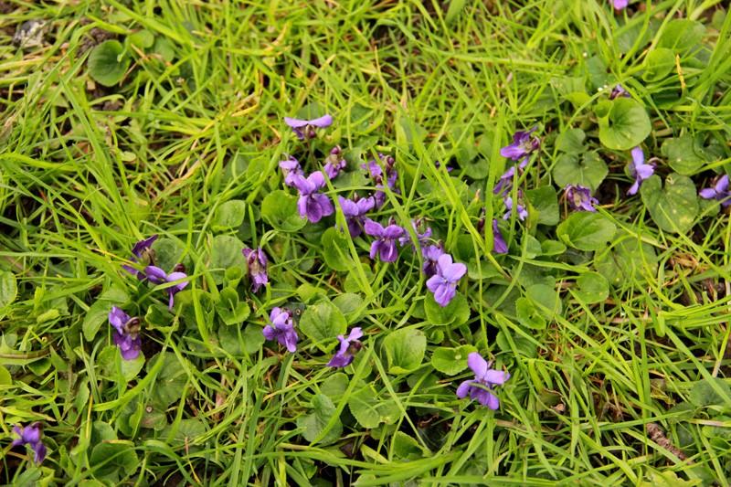 Petite violette du début avril Fleur-12