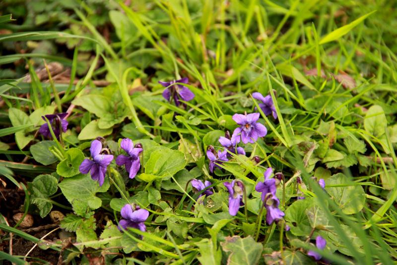 Petite violette du début avril Fleur-13