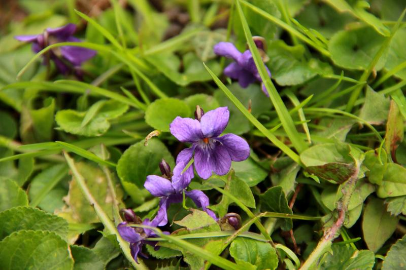Petite violette du début avril Fleur-14