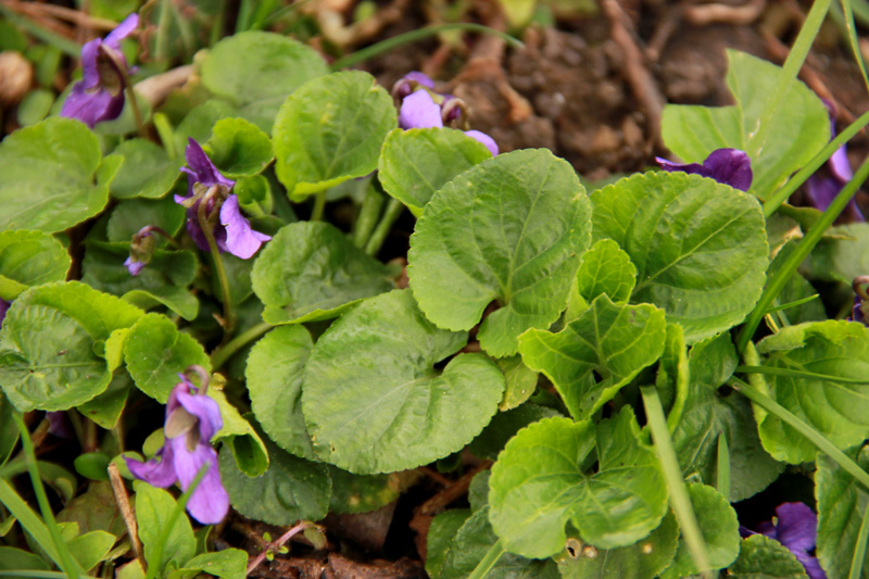 Petite violette du début avril Fleur-15