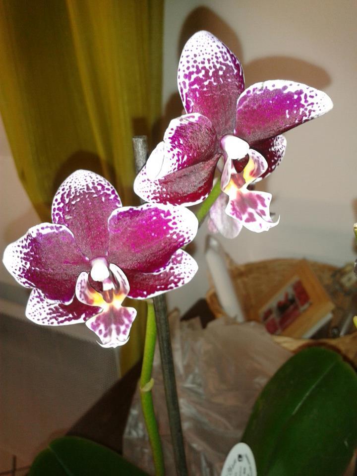 [Photos] Vos Phalaenopsis 25933_10