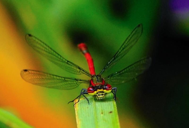 Pyrrhosoma nymphula - Agrion au corps de feu  Sans_t50