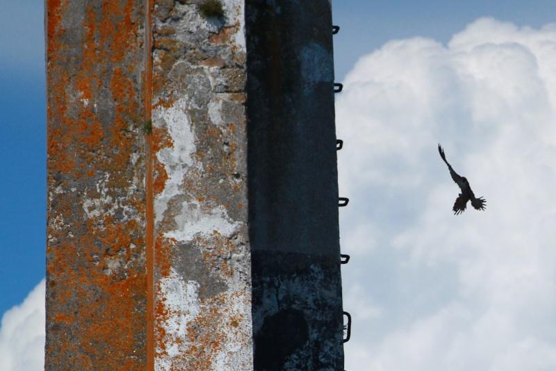 Faucon pélerin : le gardien du chateau du Taureau  Img_7811