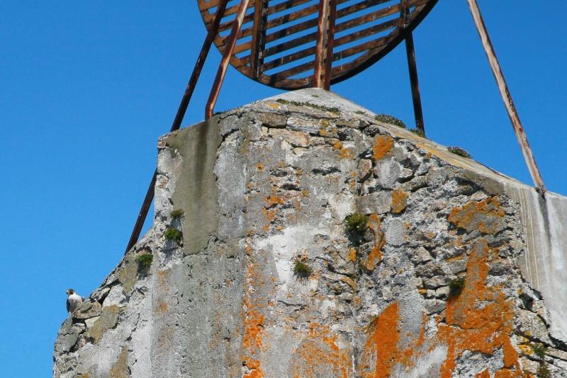 Faucon pélerin : le gardien du chateau du Taureau  Img_7812