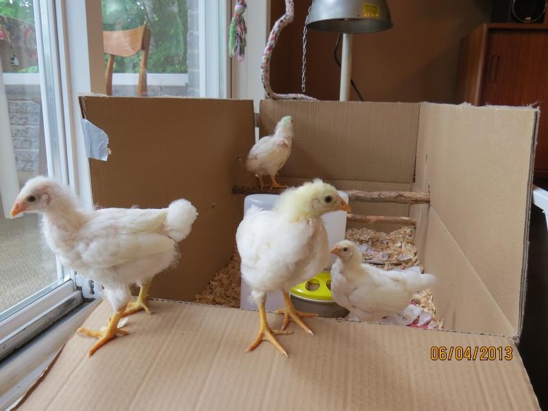 Coqs ou poules Img_0117