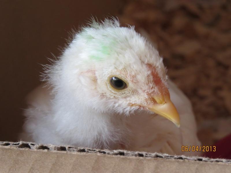 Coqs ou poules Img_0119