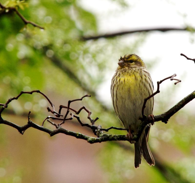Pour identification (+1  27/4) Birdid10