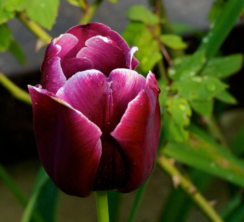 Mouillées Tulipe15
