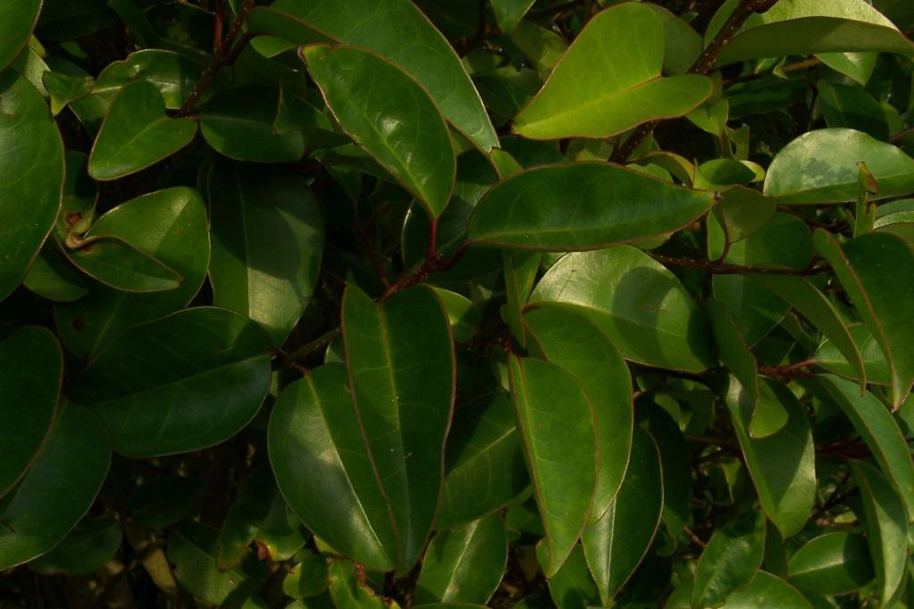 Ligustrum sinense - troène de Chine  Ligust11