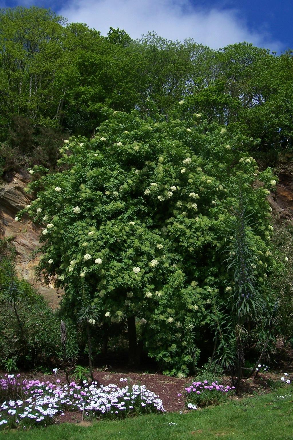 Sambucus palmensis - sureau des Canaries Sambuc11