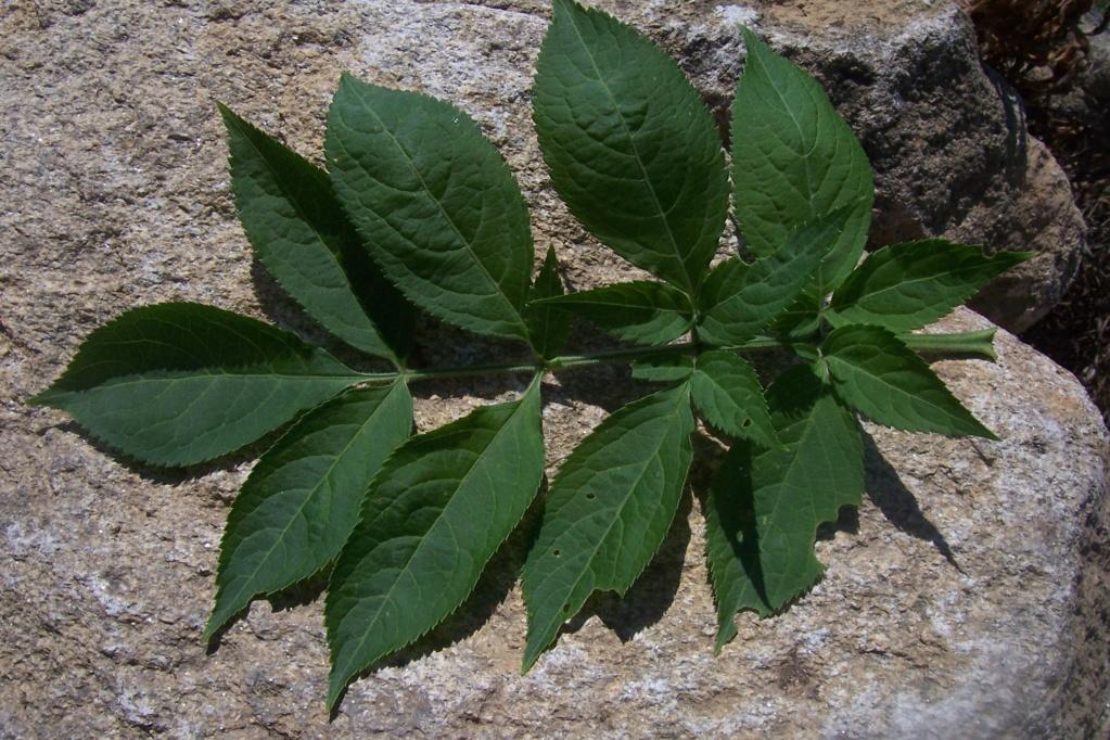 Sambucus palmensis - sureau des Canaries Sambuc14