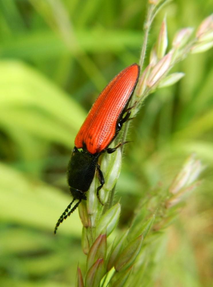 [Ampedus sp] un coleo rouge tête noire? 01910