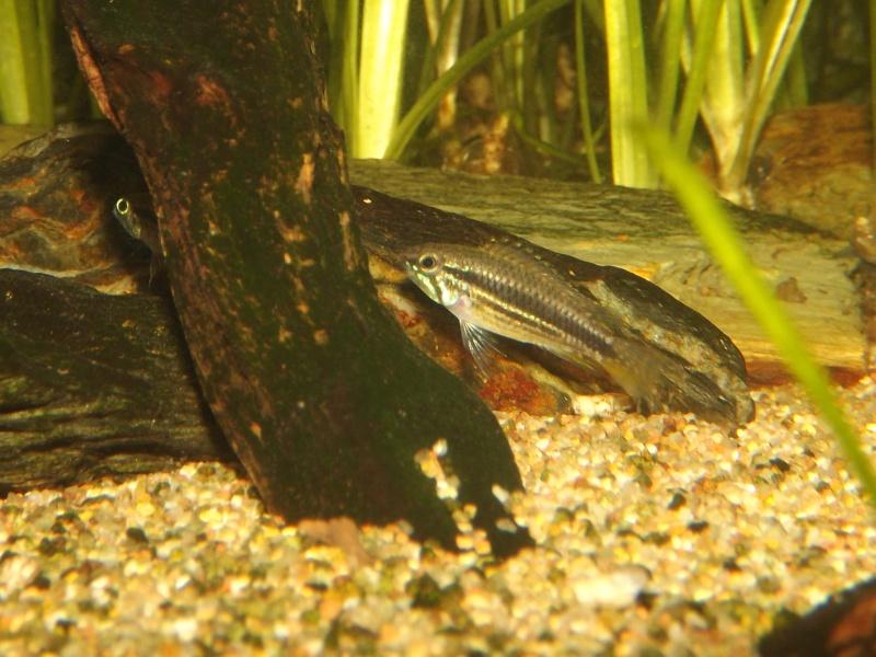 Symphysodon discus, Discus heckel rio Negro - Page 2 Apisto10
