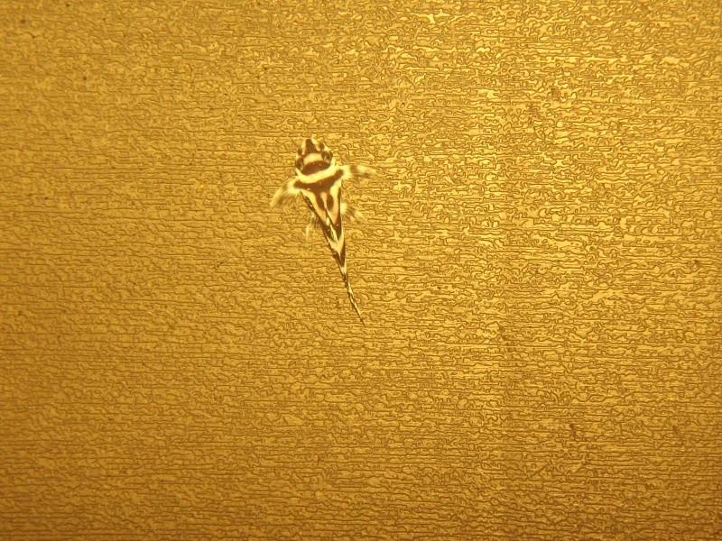 Bac spécifique pour la reproduction d'Hypancistrus zebra - Page 2 Grossi11