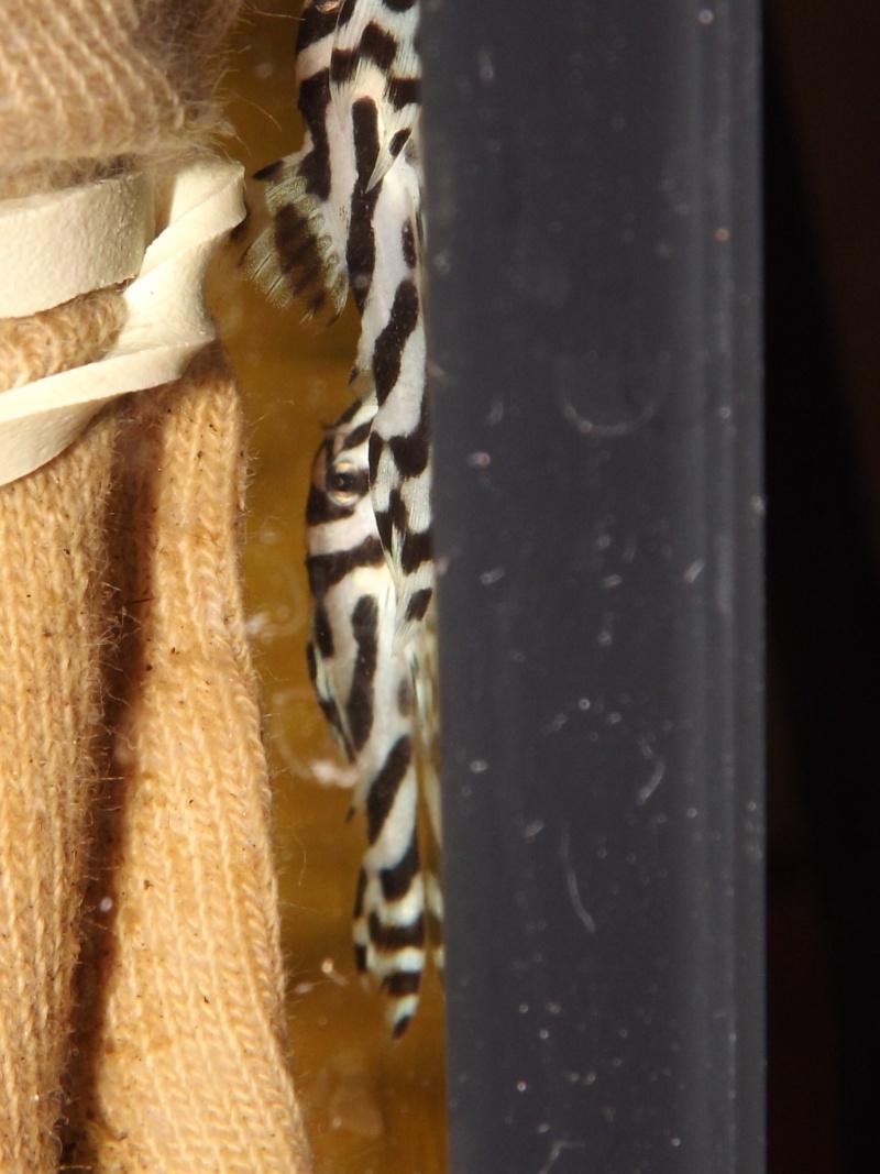 Bac spécifique pour la reproduction d'Hypancistrus zebra - Page 2 Grossi14