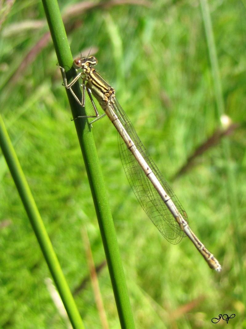 Platycnemis pennipes  Agrion13