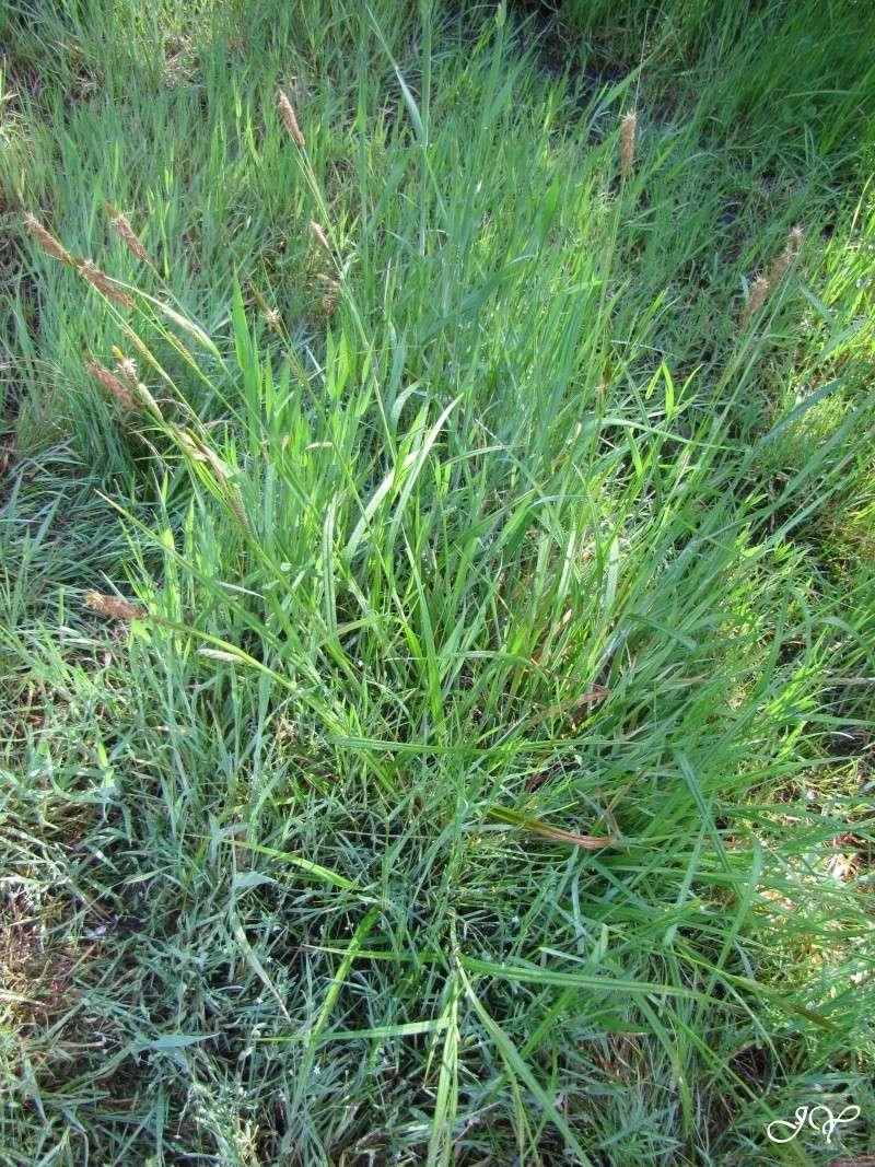 Herbe (Carex laevigata) Carex_10