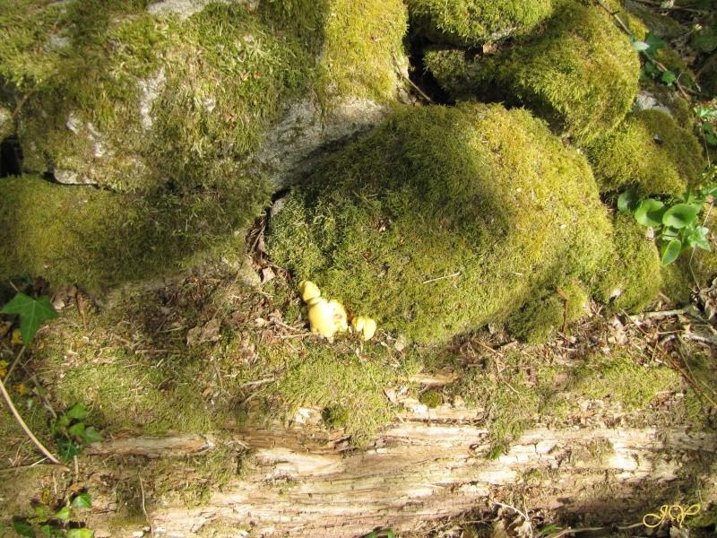 Champignon jaune Img_0910
