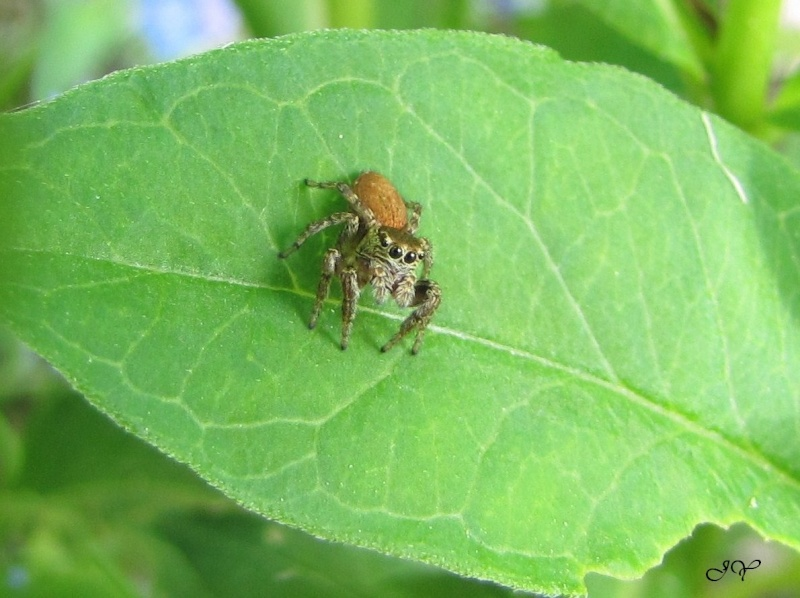 Nouvelle Salticidae. Img_1311