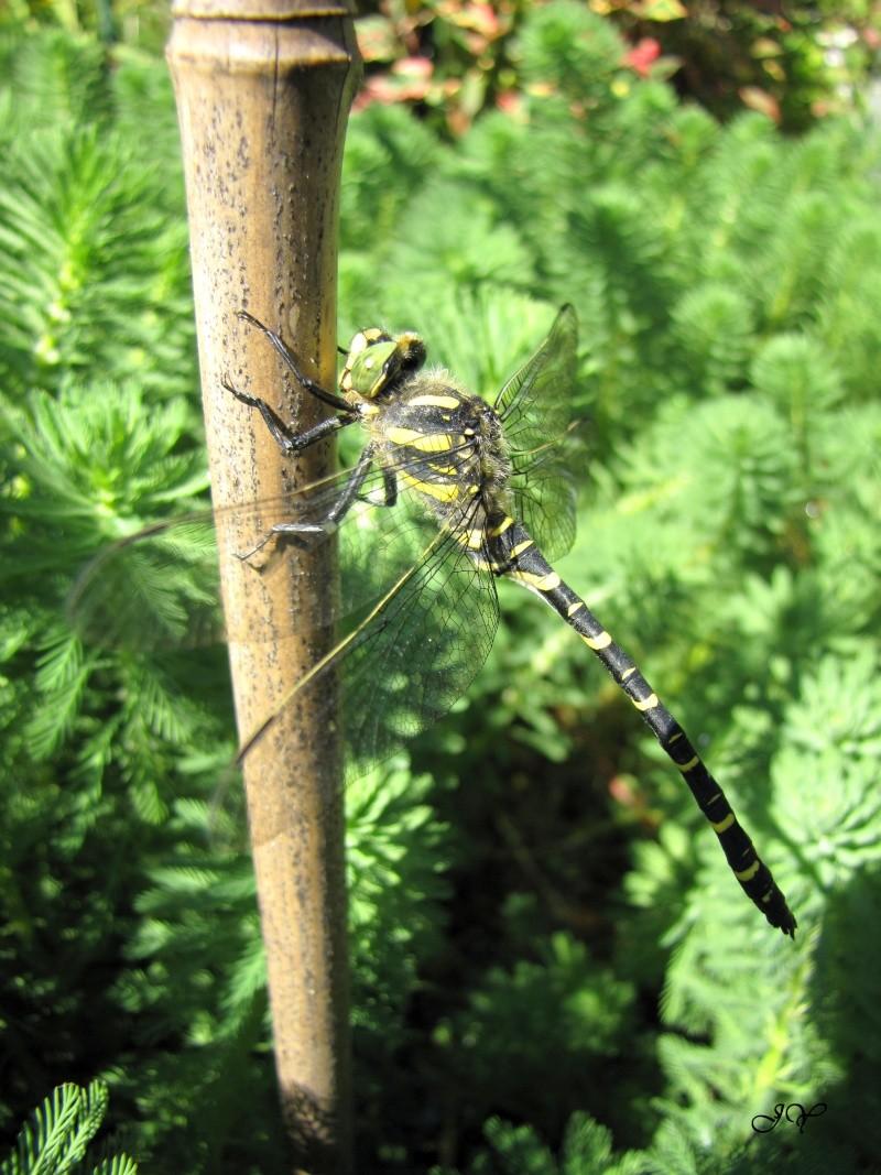 Larves de libellules. Img_6112