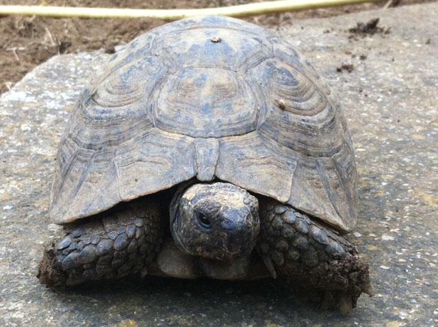 Identification d'une tortue de plus de 20 ans Tortue10