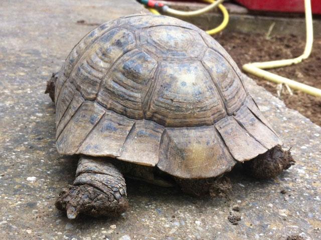 Identification d'une tortue de plus de 20 ans Tortue11