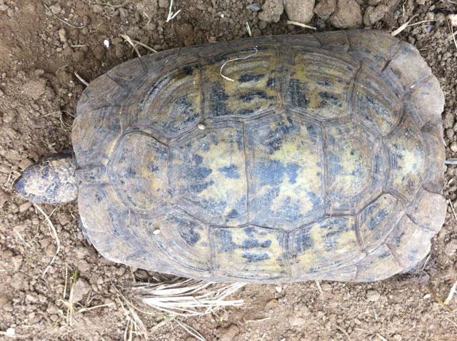 Identification d'une tortue de plus de 20 ans Tortue12