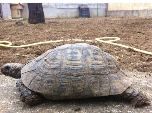 Identification d'une tortue de plus de 20 ans Tortue13