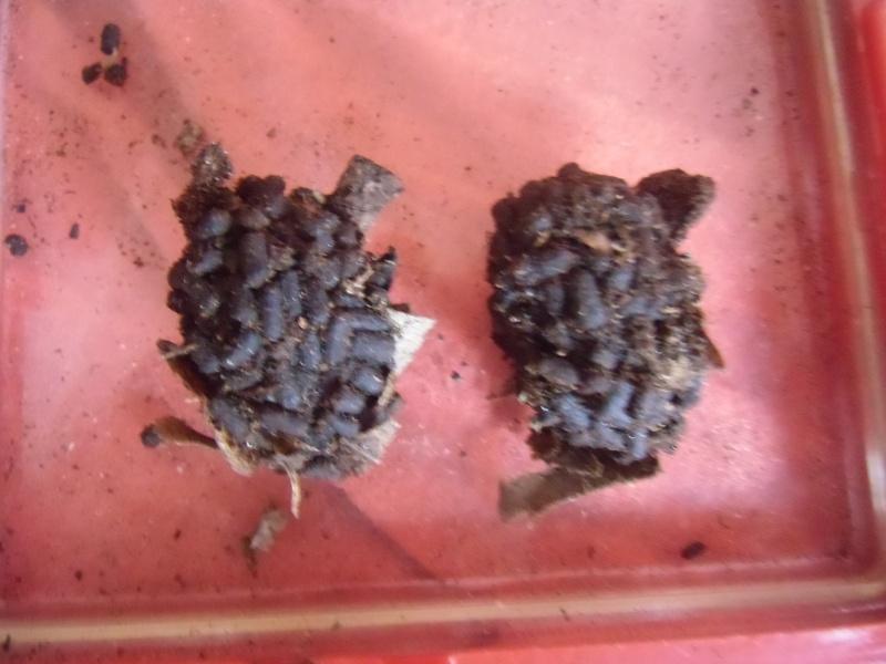Chlorocala africana oertzeni Cimg0652
