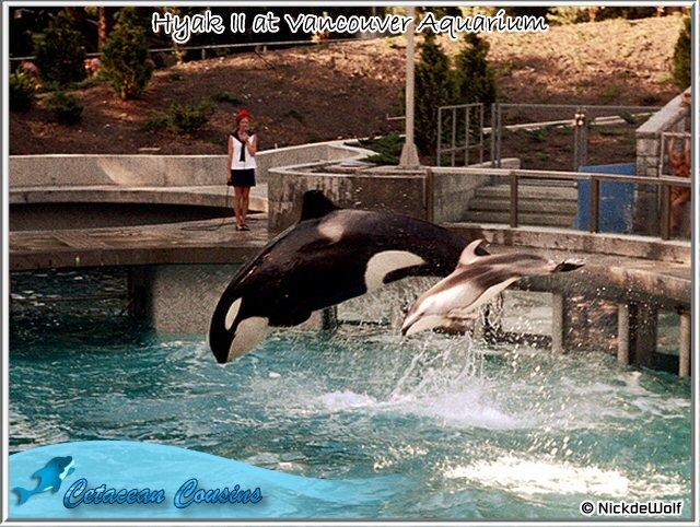 [Photos] Les orques captives quand elles étaient bébé - Page 11 Hyak2710