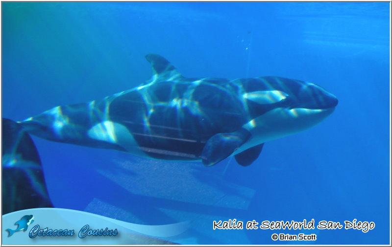 [Photos] Les orques captives quand elles étaient bébé - Page 11 Kalia010