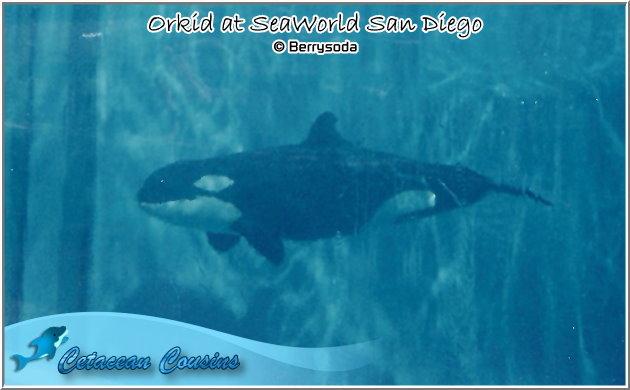 [Photos] Les orques captives quand elles étaient bébé - Page 11 Orkid810