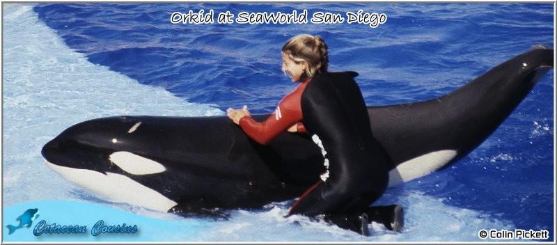 [Photos] Les orques captives quand elles étaient bébé - Page 11 Orkid811