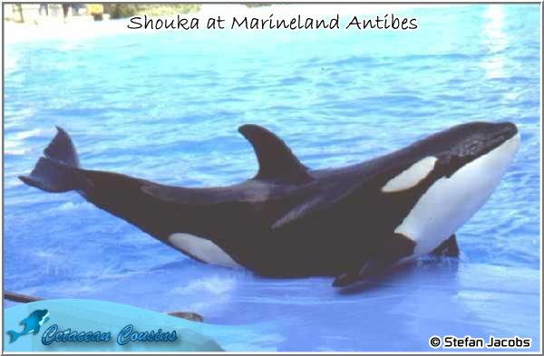 [Photos] Les orques captives quand elles étaient bébé - Page 11 Shouka10