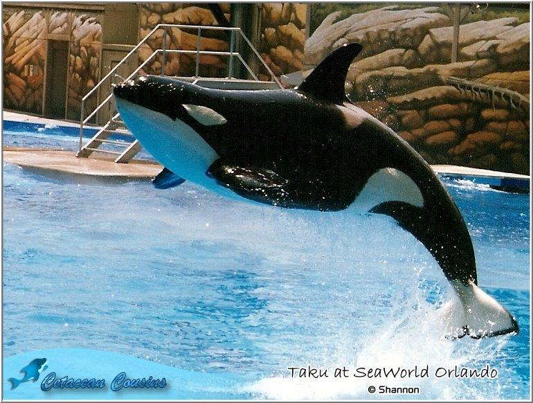 [Photos] Les orques captives quand elles étaient bébé - Page 11 Taku9010