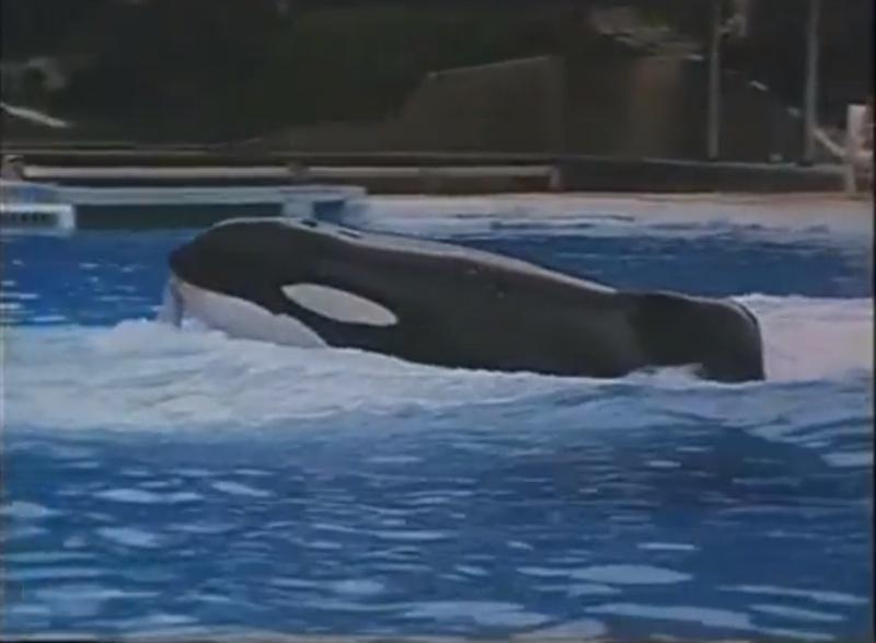 [Photos] Les orques captives quand elles étaient bébé - Page 11 Young_13