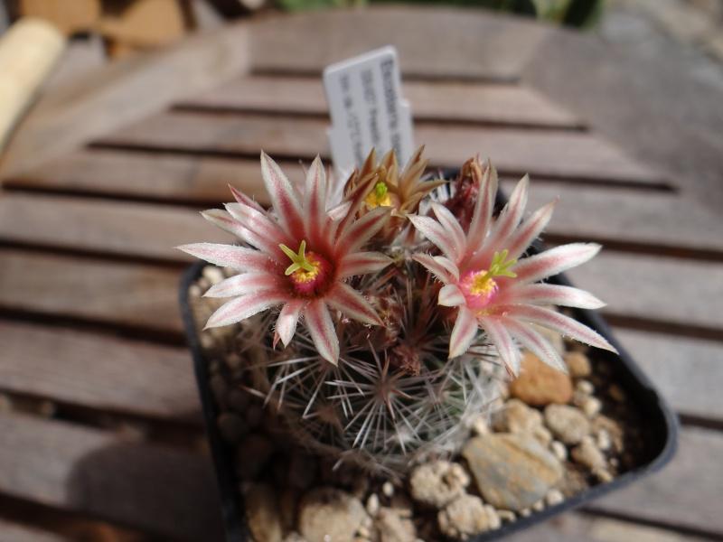 Escobaria dasyacantha Dsc02614