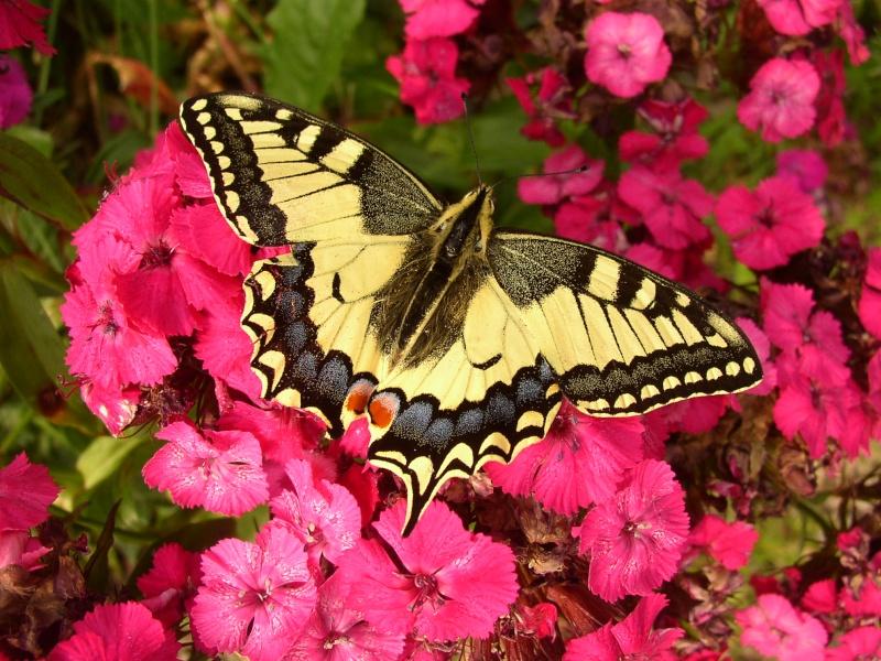 Jolis papillons 16_06_43