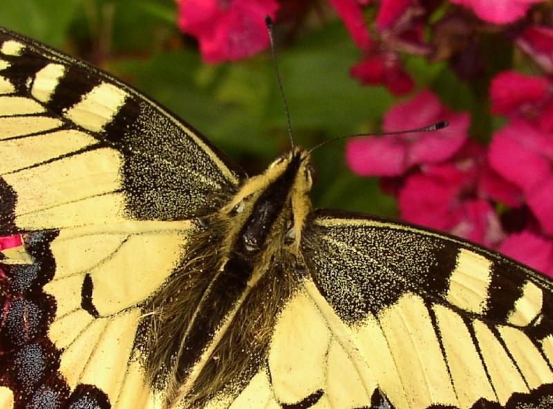 Jolis papillons 16_06_46