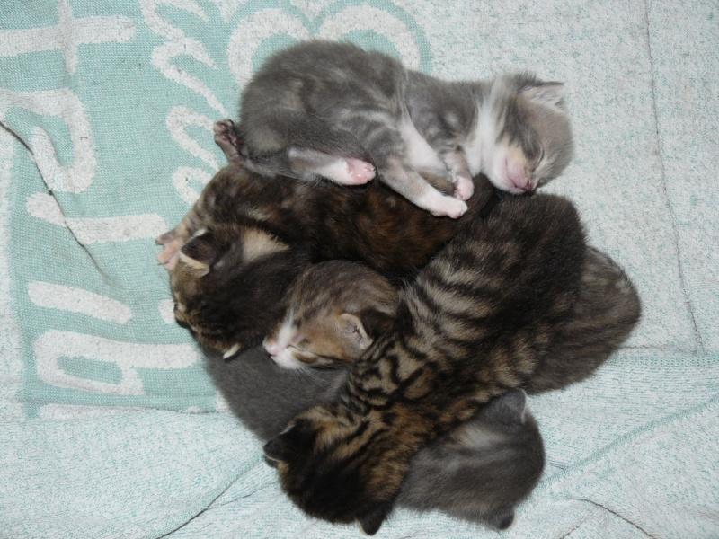 nichée de chatons Chaton13