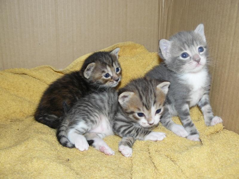 nichée de chatons Chaton15