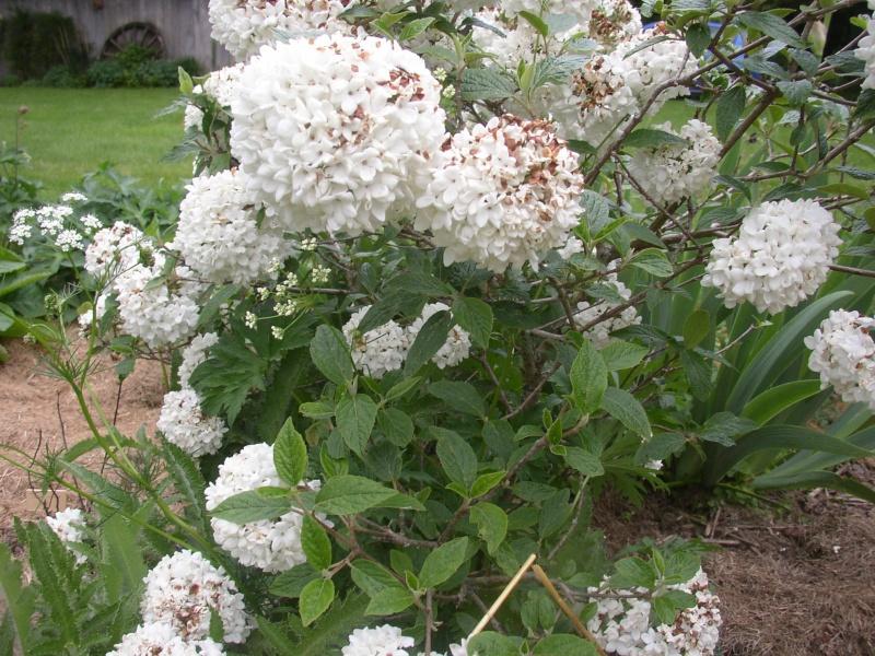 Viburnum, un arbuste formidable ! - Page 3 Mai_0214