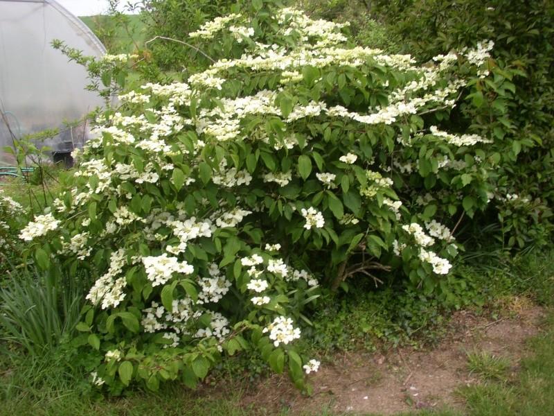 Viburnum, un arbuste formidable ! - Page 4 Mai_0215