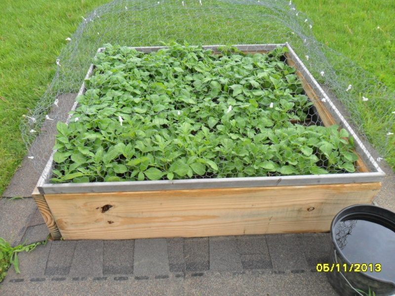 Missed covering potatoes - now what? 5-11-111