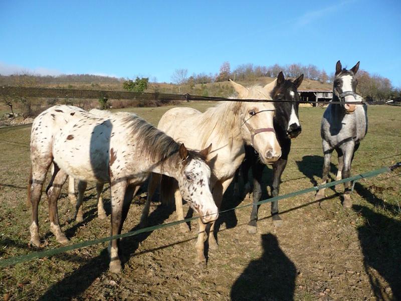 Elevage du Plantaurel poulains et chevaux à vendre P1050613