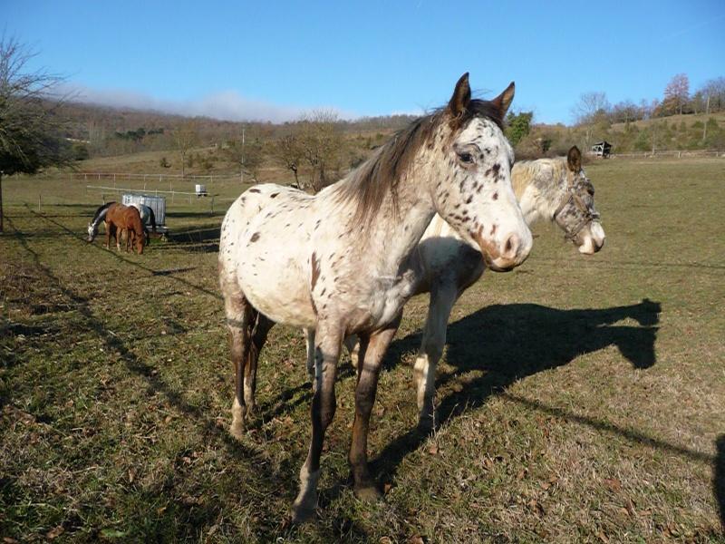 Elevage du Plantaurel poulains et chevaux à vendre P1050614